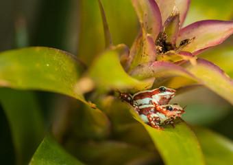 Pfeilgiftfrösche auf einer Bromelie bei der Paarung