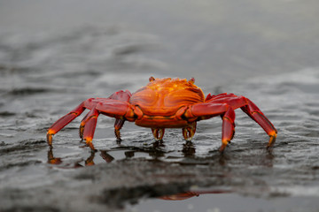 Sally Lightfoot Crabs on the Lava Rock in the Galapagos