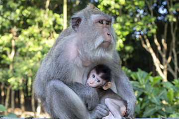 Portrait of baby monkey and mother at sacred monkey forest in Ubud, Bali, Indonesia. Close up