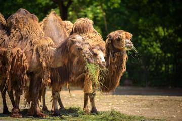 Three Bactrian camels feeding