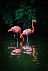 Two Caribbean Flamingos with reflection in the water