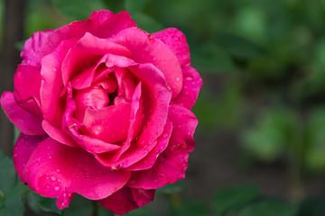 Garden rose flower
