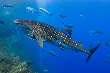 Wall Mural - Large Whale Shark swimming in shallow water over a tropical coral reef