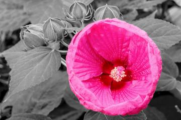 Hibiscus (luna rose)