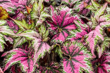 Leafs of Begonia (Nautilus Lilac)