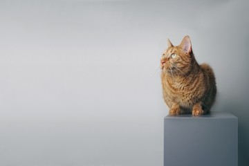 Ginger cat sitting on a grey box and looking sideways - isolated on grey backlground.
