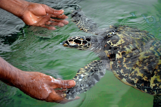 The rescued tortoise holds its flippers with human hands  . Sea Turtles Conservation Research Project in Bentota, Sri Lanka. saving animals, trusting people.