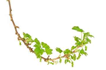 Blackcurrant (Ribes nigrum) branch in spring. Isolated on white background.