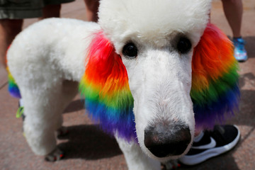 A poodle named Claire has her ears dyed with rainbow colours for Boston's 48th Pride Parade in Boston