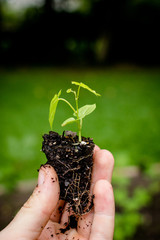 Hand Holding Muscadine Seedling Plant