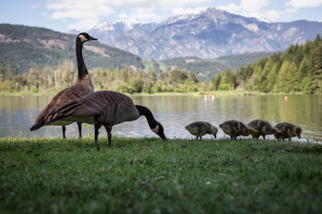 Family of geese during a sunny day. Taken in One Mile Lake, Pemberton, British Columbia, Canada.