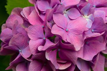 Beautiful pink hydrangea flowers macro