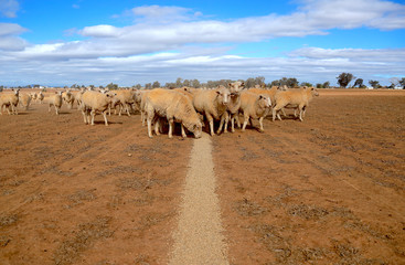 Sheep eat grain on a drought-affected paddock on a property located on the outskirts of Tamworth, located in the north-west of New South Wales