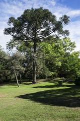araucaria forest landscape environment protection lawn