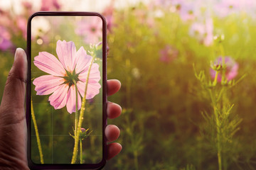 Smartphone on Hand Taking Photography of Blooming Cosmos in Summer or Spring. Human using Mobile Phone to Capturing Flowers in Park. Modern Lifestyle Concept