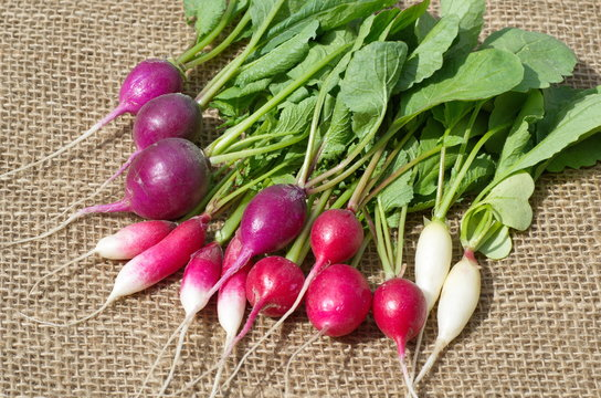 Harvest of radish of different varieties