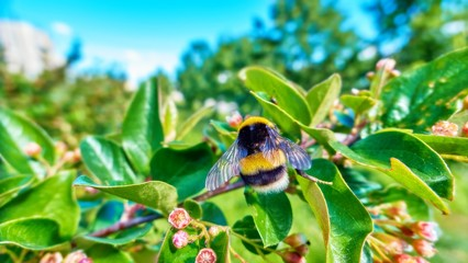 Carton - like styled view of a large fluffy bumble bee on green leaves and pink flowers in sunny day under blue sky in spring campus of Moscow university