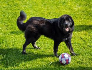 Newfoundland dog playing with ball