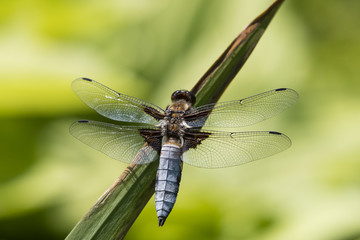 Libellula depressa - dragonfly sitting on a reed leaf.