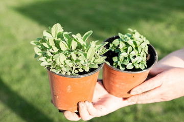 Young fresh basil and melissa in hands