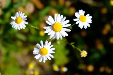 Obraz Biały kwiat jpolny - rumianek pospolity (Matricaria chamomilla) - fototapety do salonu