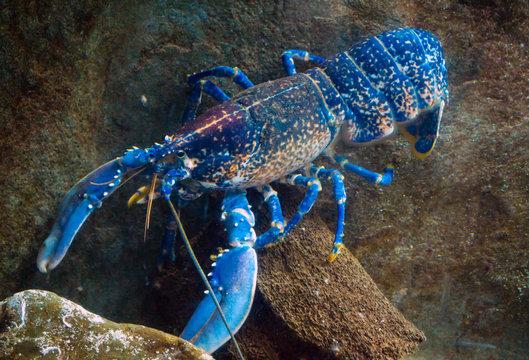 colourful australian blue crayfish, lobster, cherax quadricarinatus in aquarium