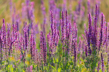 Summer flowerbed of beautiful blooming vivid purple woodland sage flower or Salvia nemorosa on blurred background