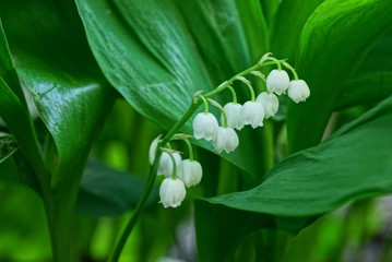 white lily of the valley flowers on the stalk among the green leaves