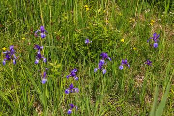 Chiemsee, Iris Sibirica, Sibirische Schwertlilie, Wieseniris