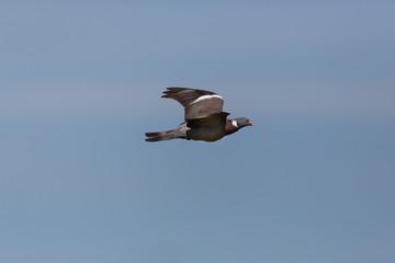 one flying wood pigeon culver (columba palumbus), spread wings