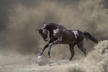 Black Akhalteke, horse galloping in the dust storm