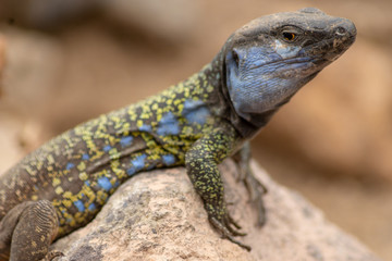 Gallotia galloti - endemic lizard living on Tenerife