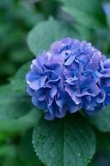 紫陽花・水滴