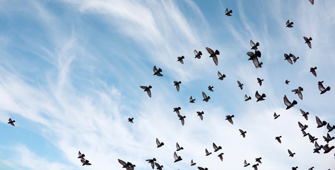 Foto En Lienzo - A flock of pigeons flies across the sky. Birds fly against the s