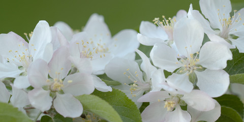 beautiful white pink pear flowers blooming in the garden