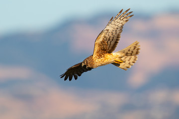 Close view of a female Northern harrier hunting, seen in the wild near the San Francisco Bay