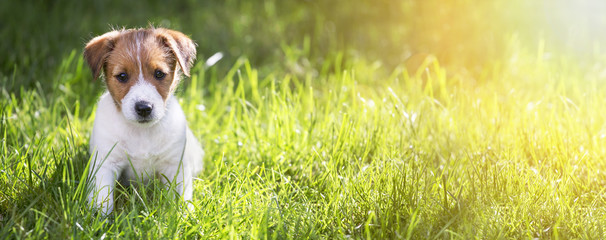Web banner of a happy Jack Russell Terrier puppy sitting in the grass in summer