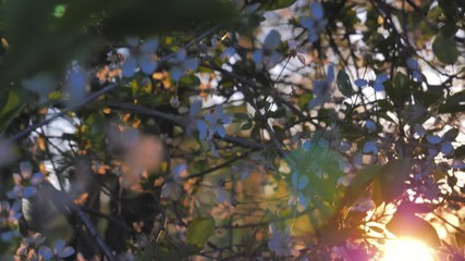 Wall Mural - Spring blossom trees against sunset background, apple and cherry flowers closeup shot
