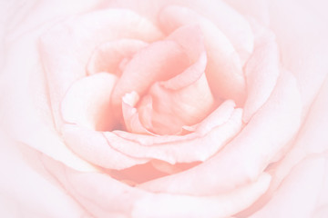 Unfocused blur rose petals, abstract romance background, pastel and soft flower card