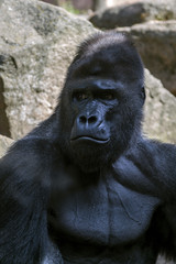 Portrait of a close-up of male gorilla in the zoo, the most dangerous and biggest monkey . Look of a great ape. Close Up portrait .