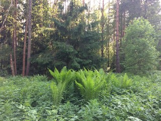 Ferns cover the forest floor in sunny summer day. Russia