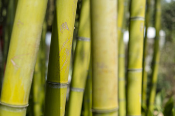 branches of bamboo forest on a bright day background