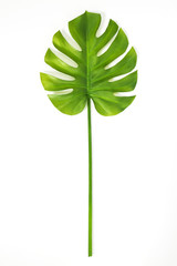 Beautiful green Monstera leaf on white background