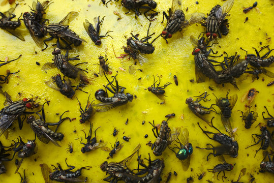 Close up of a yellow sticky paper with lots of flies and other insects trapped in.
