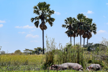 Hippopotamus resting on bank of river in Malawi, Africa. Hippopotamus amphibius