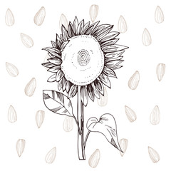 Hand drawn sunflower.  Vector background. Sketch illustration