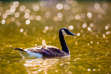 Canada goose in water with a nice blurred background