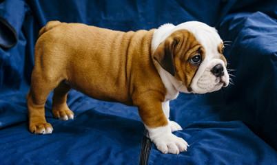 Cute puppy of english bulldog,selective focus