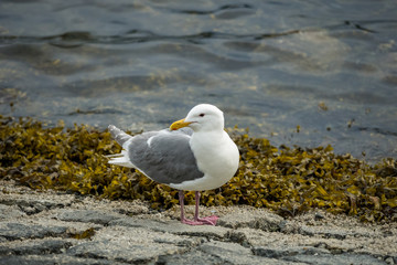 white seagull with grey wings resting on the shore