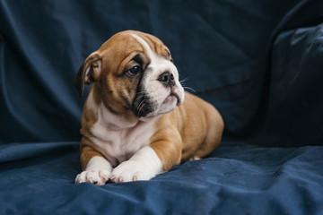 Cute female puppy of english bulldog,selective focus